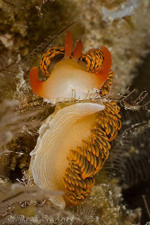 Hot off the sensor from today's dives.  Moridilla brockii... by Ross Gudgeon