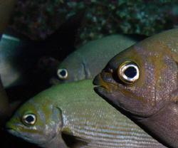 rudderfish by Martin Dalsaso