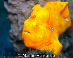 warty frogfish spotted in Lembeh, Indonesia. Taken with o... by Marian Hernando
