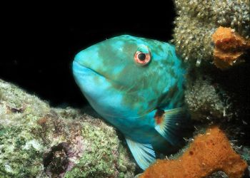 Zzzzzzz.  Parrotfish sleeping at night taken in Roatan wi... by Beverly Speed