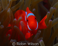 Spinecheek anemonefish,Wakatobi-Teluk Waitii by Robin Wilson