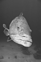 A giant potato cod spotted off the reef edge near lizard ... by Cal Mero