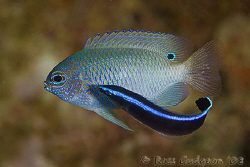 Even little fish get dirty.  A damsel fish getting a good... by Ross Gudgeon