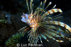 Lionfish by Luc Rooman
