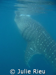 Whale shark, Mafia Island by Julie Rieu