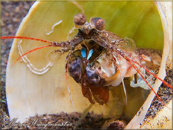Mantis Shrimp in it's shell - Puri Jati, Bali (Canon G9, ... by Marco Waagmeester