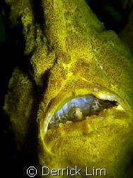 Giant Frogfish having meal, still can see fish head and h... by Derrick Lim