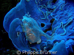Jolie ambiance avec ce poisson grenouille à Apo Island by Philippe Brunner