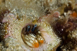 Ol' Blue Eyes.  Tiny Coral Hermit Crab less than 10mm lon... by Ross Gudgeon