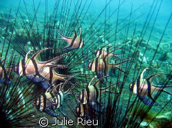 Cardinals sheltering amongst sea urchins, Lembeh Strait, ... by Julie Rieu