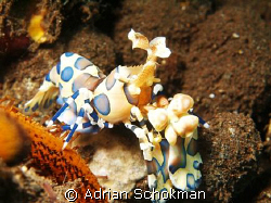 Harlequin Shrimp from Bali in Full View. Olympus E-330 + ... by Adrian Schokman