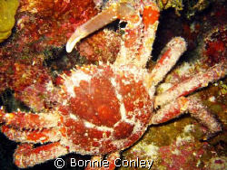Hairy Clinging Crab seen during night dive on August 2008... by Bonnie Conley