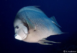 """Sailing along the Wall"" This photo of a  Grey Angelfishw... by Steven Anderson"