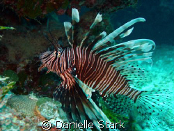 you're not supposed to be here!  lionfish in the Bahamas. by Danielle Stark