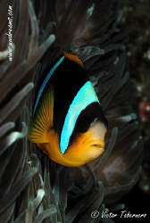 Clown fish with a small parasite in the fronthead by Victor Tabernero