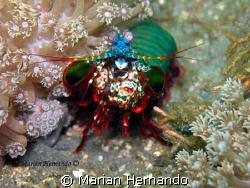 Manta Shrimp shot in Lembeh, using Olympus cw8080 and Fan... by Marian Hernando