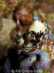 Nembrotha lineolata, was taken when night dive @ Ambon. U... by Ria Qorina Lubis