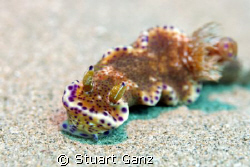 Kangaroo Nudibranch by Stuart Ganz