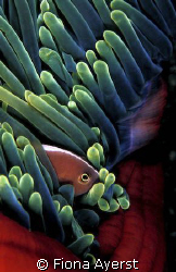 Clown fish in Indonesia by Fiona Ayerst