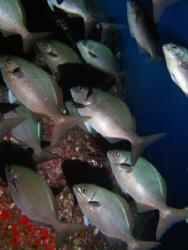 Schooling Rudderfish by Martin Dalsaso