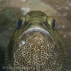 What's going on down there?   A large Rankin Cod giving m... by Ross Gudgeon