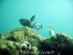 Doctor fish on the first reef line by Lauderdale by the Sea by Michael Kovach