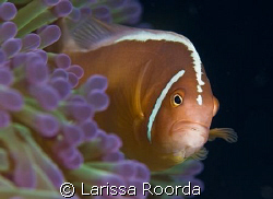 Clownfish, 105mm by Larissa Roorda