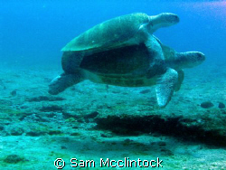 Turtle Love....Going against a strong current at Punta Su... by Sam Mcclintock
