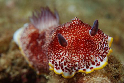 Chromodoris tinctoria. Picture taken on the second reef o... by Anouk Houben