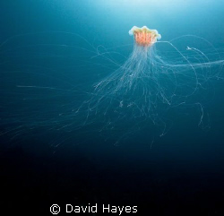 Lion's Main Jellyfish photographed in November while divi... by David Hayes