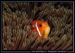 A clown fish in it's Anemone ... :O) .... by Michel Lonfat