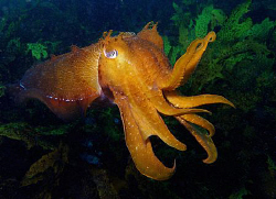 Giant Cuttle, Clovelly by Doug Anderson