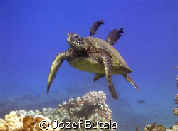 """Turtle""""almost"""" at cleaning station....pic taken with camc... by Jozef Butala"""
