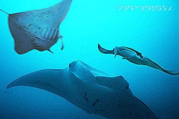 Yap-Micronesia-COMPOSING > 2 mantas left and right - Nik.... by Manfred Bail
