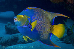 Queen Angelfish.  Cozumel, Mexico.  Canon 20D & Sigma 17-70 by Ross Gudgeon