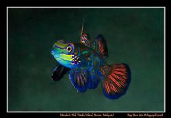 Mandarin Fish, Mabul island, Borneo, Malaysia,   D300, N... by Kay Burn Lim