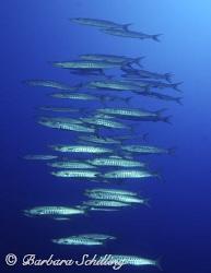 School of Barracudas flying by in formation by Barbara Schilling