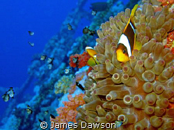 Red Sea Anemone fish on the Numidia at Big Brother Island... by James Dawson