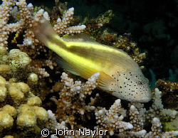 freckled hawk fish.d200 60mm macro. by John Naylor