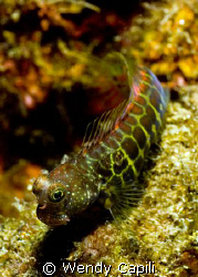 blenny! by Wendy Capili