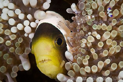 How many crusties can you see?  Anemone fish with some we... by Ross Gudgeon