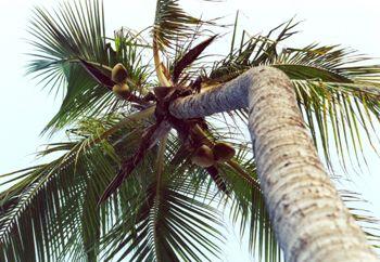 Jamaica Palm tree taken with a Minolta maxxum 300si by Rebecca Urban