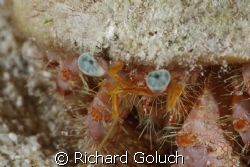 Blue-Eye Hermit Crab-Canon 5D-100mm Macro with MacroMate,... by Richard Goluch