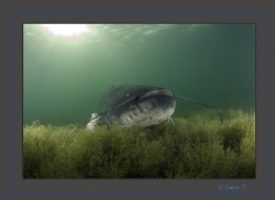 +2m (6.561679Feet) wels catfish, an impressive encounter ... by Sven Tramaux