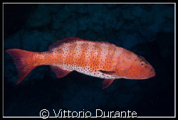A Plectopromus Pessuliferus at Jackson Reef by Vittorio Durante