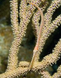 Little juvenile Trumpetfish on Little Cayman Island. by Deborah Chambers