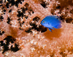 A newly settled damselfish hides amongst the branches of ... by Cal Mero