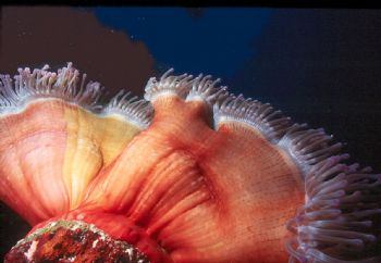 Giant Anemone.  Taken in Fiji with NikV, 15mm lens, & Sub... by Beverly Speed
