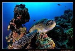 Green Sea Turtle,   Nikon D300, Tokina 10-17 Fisheye by Kay Burn Lim