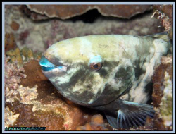 Parrotfish, was taken during night dive at Jana Island in... by Mohammed Al Hamood